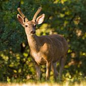 foto of blacktail  - Male blacktailed deer streaked by morning sunlight - JPG