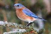 stock photo of bluebird  - Male Eastern Bluebird  - JPG