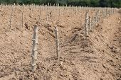 pic of cassava  - The cassava farm at the countryside of Thailand - JPG