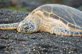 pic of sea-turtles  - A Hawaii Green Sea Turtle sleeping on Black Sand Beach