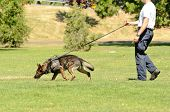 pic of working animal  - A police K9 dog works with his partner to aprehend a bad guy during a demonstration - JPG