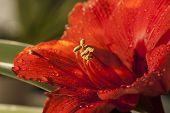 image of belladonna  - AmaryllisAmaryllis belladonna close up of flowering plant - JPG