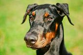 stock photo of pure-breed  - Close Up Young, Beautiful, Black And Tan Doberman Is A Breed Known For Being Intelligent, Alert, And Loyal Companion Dogs. ** Note: Shallow depth of field - JPG