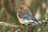 picture of bluebird  - Female Eastern Bluebird  - JPG