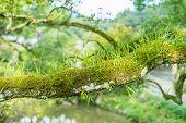 foto of parasite  - many green parasitic on tree trunk look abundant natural - JPG