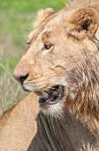 picture of sub-saharan  - Up close portrait of a young male lion showing only his head and face - JPG