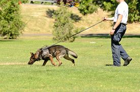 image of working-dogs  - A police K9 dog works with his partner to aprehend a bad guy during a demonstration - JPG