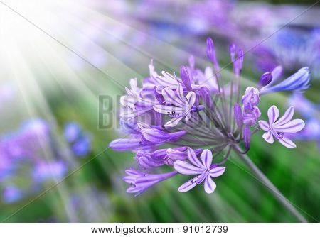 African Lily, Blue flowers. Floral background