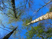 foto of birching  - Birch trees on the background of the spring sky  - JPG