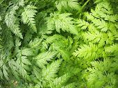 picture of gout  - The leaves of the plant Aegopodium Podagraria closeup - JPG