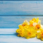 image of daffodils  - Bright yellow daffodils flowers on blue painted wooden background - JPG