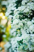 picture of early spring  - White Spiraea (Meadowsweet) flowers early spring on the background bokeh. ** Note: Visible grain at 100%, best at smaller sizes - JPG