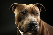 stock photo of american staffordshire terrier  - American Staffordshire Terrier - JPG