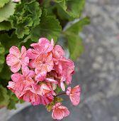 picture of geranium  - detail of geranium in a meadow in la spezia - JPG
