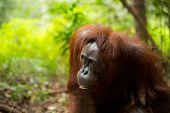 stock photo of orangutan  - Wild orangutan in Borneo forest sumatra Indonesia  - JPG