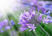 stock photo of single flower  - African Lily, Blue flowers with sunshine. Floral background with blue flowers, spring flower, Retro summer background ** Note: Shallow depth of field - JPG
