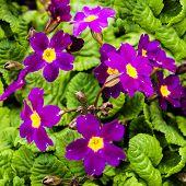 stock photo of primrose  - Thickets of flowering crimson inflorescences primrose in spring - JPG