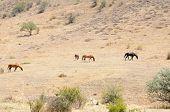 image of wild horses  - Wild horses grazing in the arid hillside - JPG