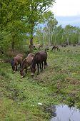 foto of pony  - Wild Exmoor ponies drink from a stream on open heathland - JPG