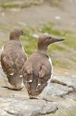 picture of common  - Common Murre Uria aalge enjoying the sun on the rocks - JPG