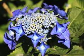 stock photo of hydrangea  - Hydrangea - JPG