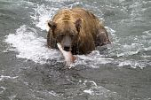 stock photo of mating bears  - A sockeye salmon become the surprise lunch for a grizzly bear at Katmai National Park Alaska - JPG
