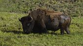 pic of marshes  - a bison stands in a marsh in the LaMar Valley - JPG