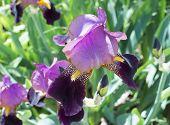 image of purple iris  - the big beautiful flower of Purple Iris  - JPG