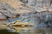 picture of crocodile  - Big Brown and Yellow Amphibian Prehistoric Crocodile - JPG