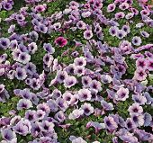 image of greenhouse  - background flowers potunia in the great greenhouse - JPG