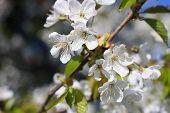stock photo of tree-flower  - Apple tree flowers - JPG