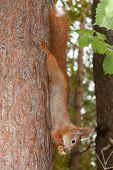 Постер, плакат: Red Squirrel With Walnuts