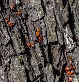 stock photo of larva  - Firebugs beetles and larvae on the bark of big old tree in the forest - JPG