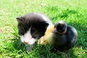 pic of baby chick  - Kitten and baby chicks on the grass enjoying spring - JPG