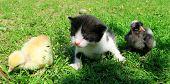 foto of baby chick  - Kitten and baby chicks on the grass enjoying spring - JPG