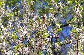 stock photo of lats  - Blossoming nanking cherry tree  - JPG
