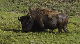 picture of lamar  - a bison stands in a marsh in the LaMar Valley - JPG