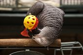 African Grey With Toy poster