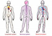 Постер, плакат: human anatomy nervous blood lymphatic system