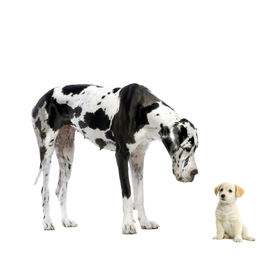 foto of great dane  - great dane harlequin and puppy labrador looking at each other in front of a white background - JPG