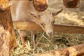pic of cashmere goat  - Close up front view of baby goat peeking head around corner - JPG