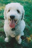 stock photo of cockapoo  - Rocky - JPG