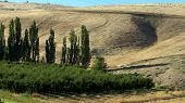 image of yakima  - A shot of Orchard  and the background wtih rolling hills - JPG