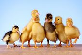 Little yellow fluffy ducklings on blue background poster