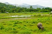 image of carabao  - Thai buffalo in the Countryside of thailand - JPG