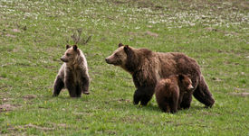 image of grizzly bear  - Grizzly family in Yellowstone National Park - JPG