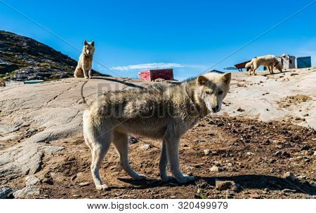 poster of Greenland dogs - husky sled dog in Ilulissat Greenland. Greenlandic dog sled dog in summer nature la