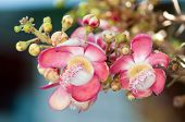 picture of cannonball-flower  - Salavan flower The important flower of Buddhism - JPG