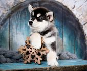 Alaskan Malamute puppy, black and white puppy with long fluffy hair poster