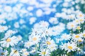 Chamomile Flower Field. Camomile In The Nature. Field Of Camomiles At Sunny Day At Nature. Camomile  poster